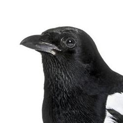 Magpie/Grey Crow